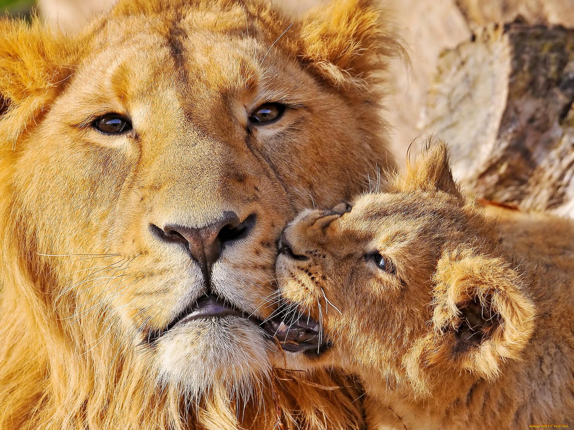 картинка люблю львенка выбор недорогих